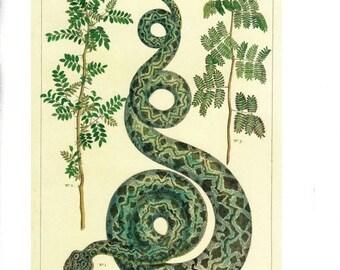 "50% Off Estate Sale Antique Nature Art, Vintage Re print Albertus Seba 18th Century, Boa, Botany Illustration, 13.25"" x 9.5"""