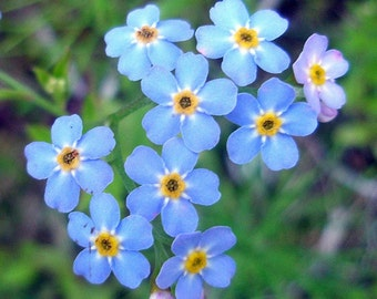 "Forget Me Not Blue - Myosotis Alpestris * Sun/partial Shade 12"" Tall!! 100 Seeds"