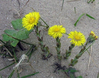 Perennial Coltsfoot 5 LIVE PLANTS(Tussilago farfara) HERBAL early blooms