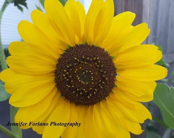 Unmatted Sunflower Photo