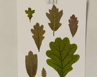 "Real pressed leaves | assortment of oaks | 5x7"" herbarium style botanical decor"