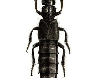 Boothia torreyi - Rove Beetle. A4 size limited edition art print