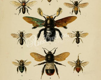 insects-06835 - tropical carpenter bee, Bumblebee, bumble bee, hymenoptera honey bees printable vintage pictures print artwork book plate