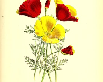 flowers-17577 - eschscholtzia crocea, California poppy, Californian golden poppy, sunlight cup of gold vintage picture digital image red jpg