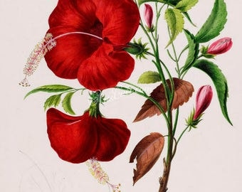 flowers-18052 - hibiscus red flower plant digital instant download picture public domain scan from old vintage ancient book paper page image