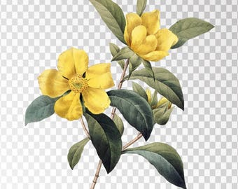 "La Dillenne Clip Art Flower - 16""x20"" Transparent Background Clipart PNG and JPG Illustration Instant Download"
