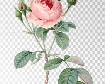 """Rosa Muscosa Clip Art Flower - 16""""x20"""" Transparent Background Clipart PNG and JPG Illustration Instant Download"""