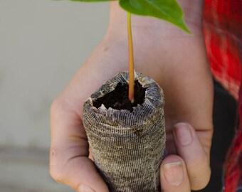 TreesAgain Silk Floss Tree - Ceiba speciosa (not seeds) - 2 to 4+ inches