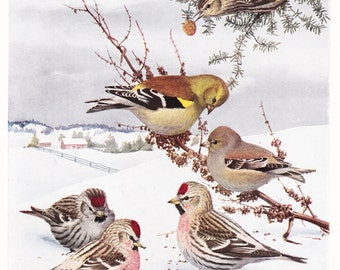 1917 Bird Print - Plate 78 - Winter Goldfinch - Vintage Antique Art Illustration by Louis Agassiz Fuertes 100 Years Old