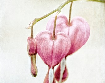 Bleeding Hearts Wall Art - Nursery Decor - Shabby Chic Art Print - Flower Photography