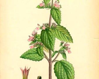 BLACK HOREHOUND (Ballota Rderalis) - 1905 Botanical Book Plate 98 Bilder ur Nordens Flora
