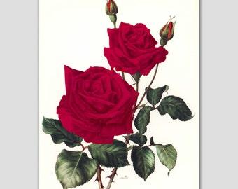 "Botanical Wall Decor, Rose Art Print, Vintage Red Flower Botanical Illustration, Gardening Book Plate 1960s ""Harkness"" No. 16"