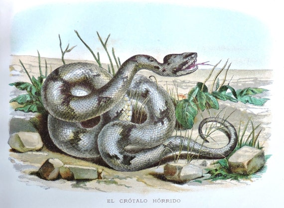 Crotalinae. Pit vipers. Snakes. Pit adders. Antique illustration 135 years old. 1881 lithograph. 8'46 x 12'05 inches.