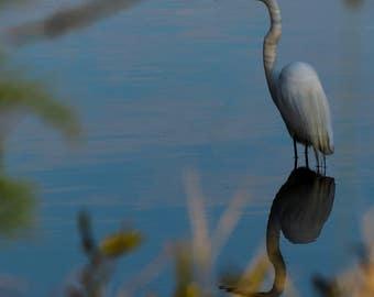 In the Shallows Instant Photo Download, Insta-Photo, Animal Photography, Wild, White Heron, Bird, Virginia, Marshland, Water, Mirror, Blue