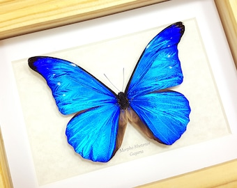 FREE SHIPPING Real Framed Morpho Rhetenor or The Rhetenor Blue Morpho Butterfly Taxidermy High Quality A1-/A-
