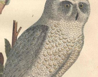 1876 Antique Bird Print Owl Hawk Lithograph Wilson American Ornithology