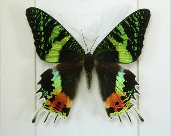 Magnificent tailed Madagascan Sunset Moth -Urania ripheus -Real Framed Butterfly/Moth