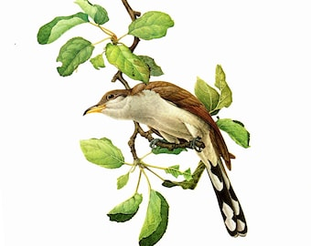 Yellow Billed Cuckoo painted by J F Landsdowne for Birds of the Eastern Forest:1. The page is 9 1/2 inches wide and 13 inches tall.