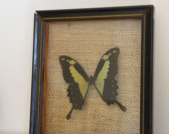 "Real Butterfly naturalized in its frame wooden ""Phorcas"", butterfly"