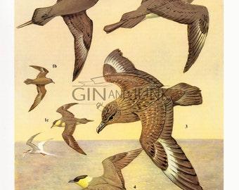 Skua Bird Print - Vintage 1970s Bird Plate