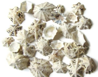Star Limpet Shells, bulk seashells, beach decor, craft shells, shell jewelry, shell decor, mosaic supply, white shells, terrarium supply