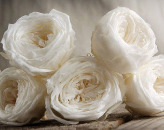 Pack of 8 Soft White Rose Heads Preserved 2.25 Inch Preserved Flowers