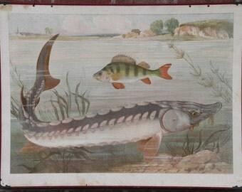 Vintage  two-sided Chart  Salmon Catfish Sturgeon Perch  School Chart