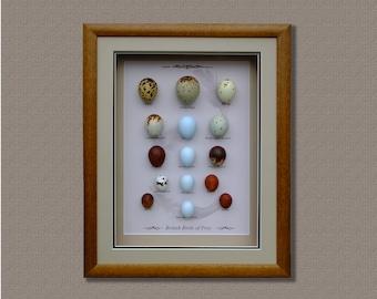 Birds of Prey Replica Eggs Set,Handcrafted,Framed ,Free Shipping.