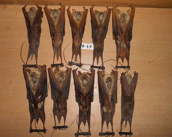 Taxidermy Hipposiderus Diadema Mummified 10 Pcs
