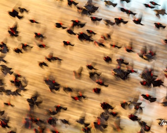 Blackbirds, Blur, Red wing blackbirds, Abstract Photo, Surreal, Motion, Swirling, Yellows, Canvas Wrap, Steve Traudt, Home Decor, Wall Art