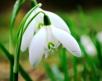 Nature Print, Nature Photograph, Wild Spring Snowdrop Photograph, Color Photograph, Flower Print, Snowdrops Print, A4 or A3 size.