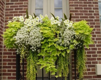 "Creeping Jenny~ moneywort or Lysimachia X1 plant many shoots""SALE"""