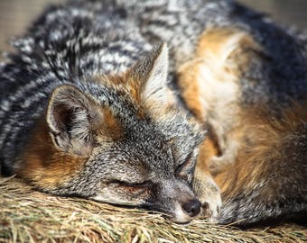 Fox, Animal Photography, Wildlife Photography