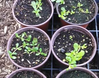 Bacopa monnieri - Brahmi - Memory Herb - Live Plants - Aquarium Plant