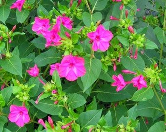 Seeds of night beautiful fushia - Mirabilis jalapa