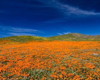 Matted, Color Photograph Print of California Poppies, Super Bloom