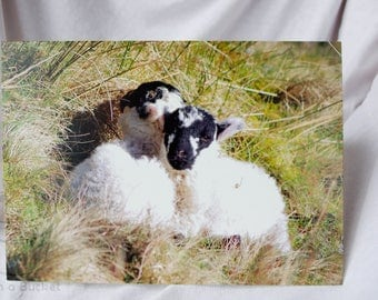 Spring Lambs A5 Greetings Card