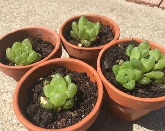 Darling Haworthia Mirabilis Succulent Plants