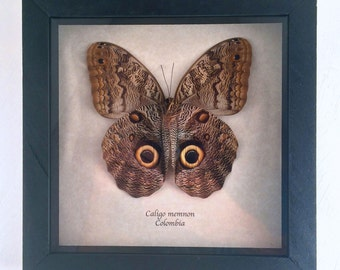 Real Butterfly framed - Caligo Memnon
