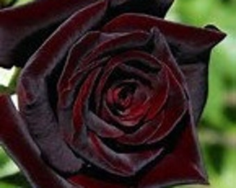 Grow Your Own Deep Red French Rose 20 Organic Rose Seeds