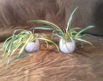 Veragated Spider Plant rooted starts