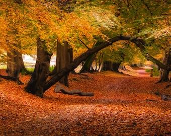 Lady's Walk, Autumn, Panorama, Ashridge, Trees, Framed Print, Print