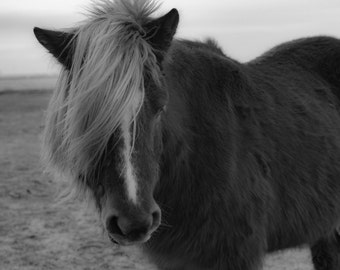 Black and White Icelandic Horse Print