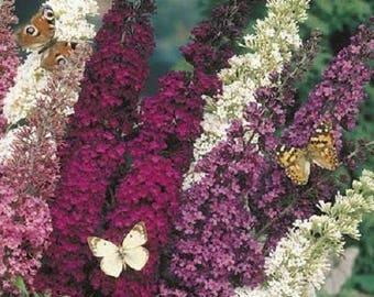 25+  BUTTERFLY BUSH MIX Buddleia Davidii Hybrid / Butterfly & Hummingbird Magnet / Perennial Mix Flower Seeds