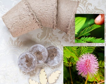 Sensitive plant growing kit Mimosa pudica, seed kit for moving touch-me-not shy plant, delicate sleepy rare flower plant, humble plant