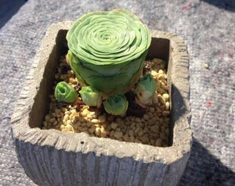 Aeonium Greenovia diplocycla, mountain rose, rare succulent,  10 seeds