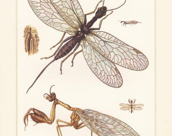 Vintage lithograph of mantidflies, snakeflies, raphidia ophiopsis, mantispa pagana from 1956