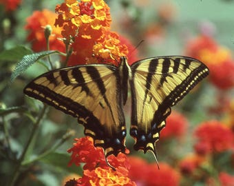 SWALLOWTAIL BUTTERFLY - photo print