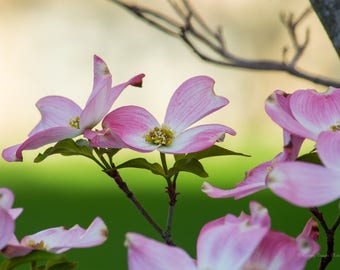 Flowers Pink Dogwood Canvas or Poster Wall Art Home or Office Decor