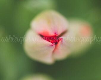 Pink Tulip2